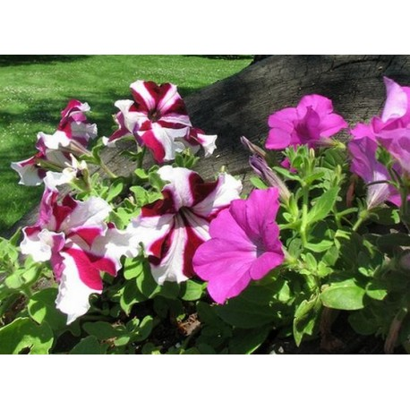 Piante Fiori.Semi Flortis Piante Fiori Petunia Ibrida Mix Brico Casa